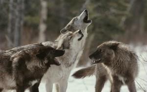 Manda de lobos