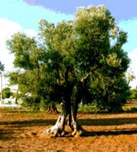 Injertados en Israel